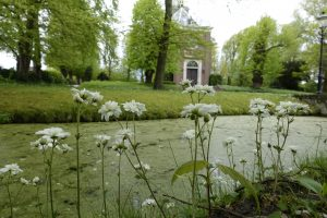 Haarlems Klokkenspel, Saxifraga granulata plena, saxifraga granulata flore plena. steenbreek, knolsteenbreek