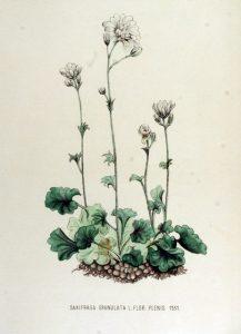 Flora Batava, deel 15, Jan Kops en F.W. van Eeden (1877)
