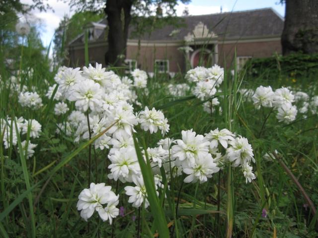Haarlems Klokkenspel, Saxifraga granulata plena, saxifraga granulata flore plena, steenbreek, knolsteenbreek