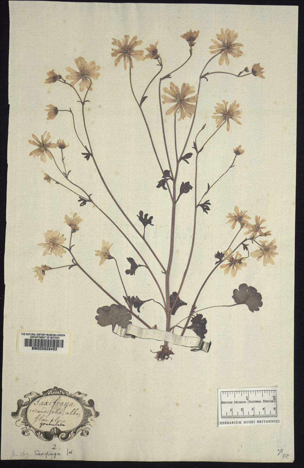 Haarlems Klokkenspel in het Clfford Herbarium - BM000628483